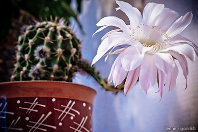 blooming_cactus2