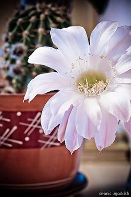 bloomin_cactus